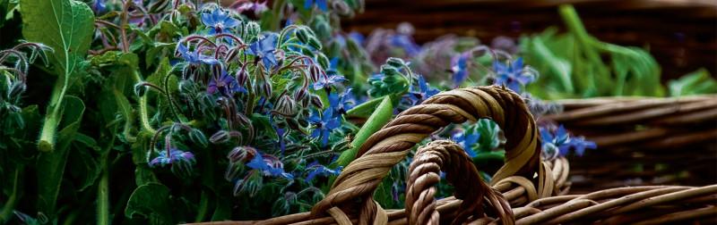 Dizionario delle piante officinali Dr. Hauschka - Borragine