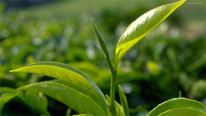 Tee - Camellia sinensis