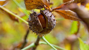 Roskastanie - Aesculus hippocastanum