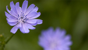 Wegwarte - Cichorium intybus
