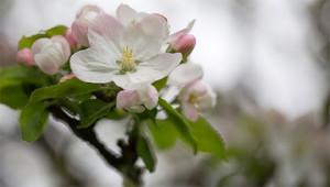 Apfel - Malus domestica