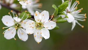 Schlehe - Prunus spinosa