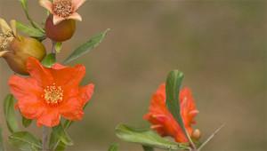 Granatapfel - Punica granatum