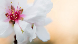 Mandelbaum - Prunus dulcis